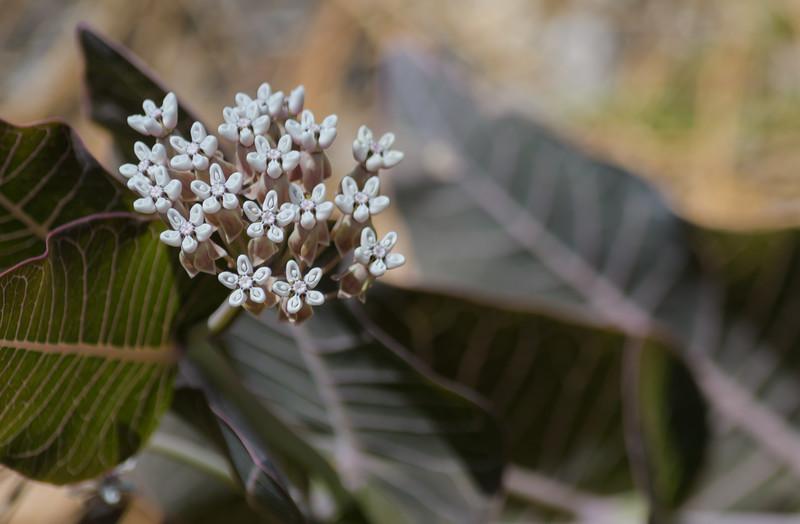 Sandhill Milkweed (Ascelepias humistrata)