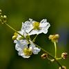 Bulltongue Arrowhead (Sagittaria lancifolia)