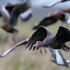 Black-bellied Whistling Duck (Dendrocygna autumnalis)