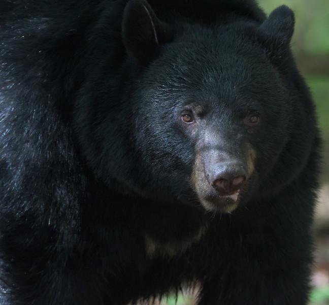American Black Bear (Ursus americana)