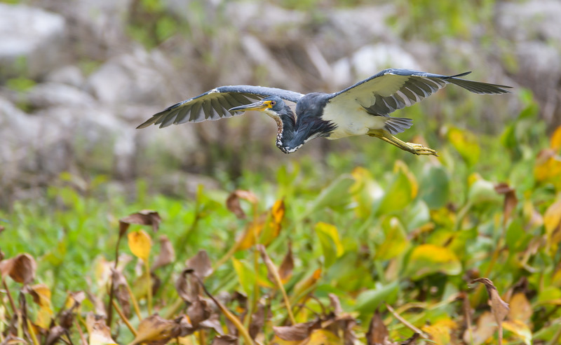 Tri-colored Heron (Egretta tricolor)