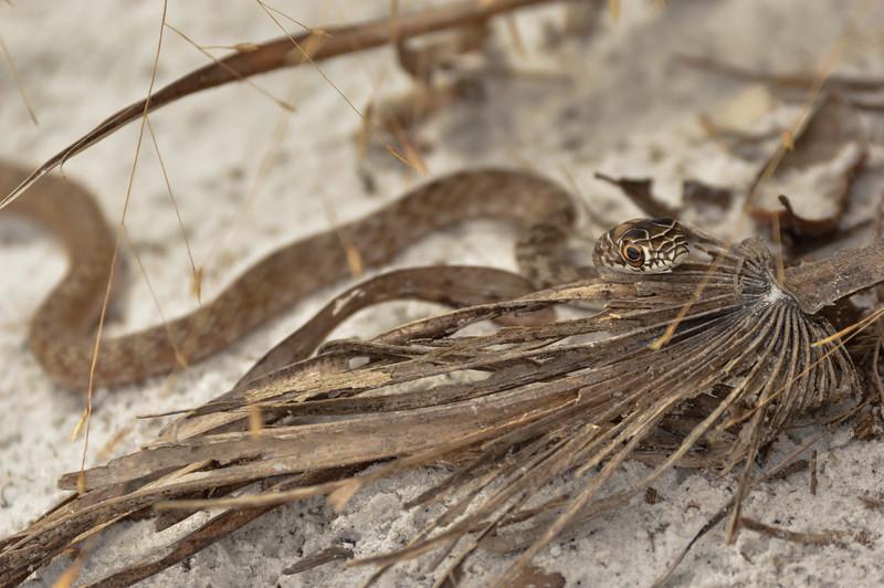 Coachwhip (Masticophis flagellum)