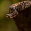 Water Moccasin/Cottonmouth (Agkistrodon piscivorus)
