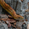 Red Rat Snake/Corn Snake (Pantherophis guttatus)