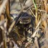 Salt Marsh Snake (Nerodia clarkii)