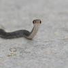 Black Racer (Coluber constrictor)