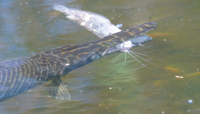 Florida Gar (Lepisosteus platyrhincus)