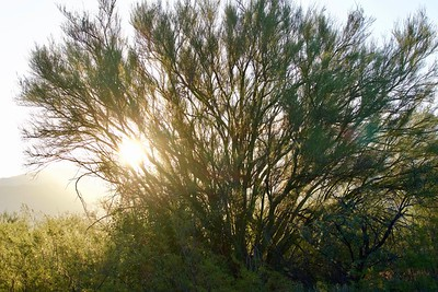 Palo Verde at Sunrise, Tucson