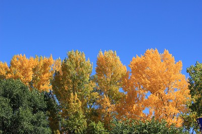Autumn Trees, Santa Fe