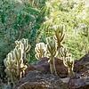 05-13-06-cactus-DSC06285