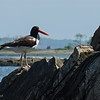 My shoot of the American Oystercatcher ... nesting on the Sprite beach
