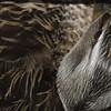 Nesting plumage on SIYC
