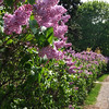 LilacHedge