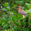 Cedar WaxWing2 on SIYC