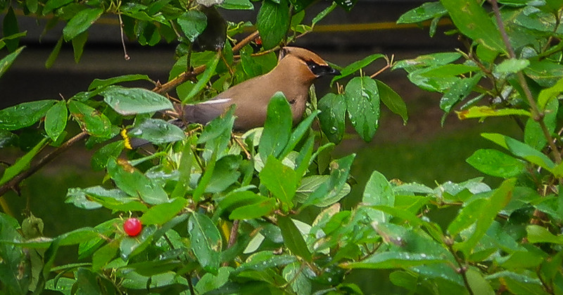 Cedar WaxWing on SIYC
