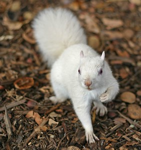 An albino grey squirrel. They are showing up more and more in this area.