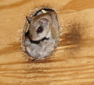 Southern Flying squirrel. Sony 717 in night shot mode, I so miss that camera's abilty in that area.