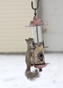 Squirrels are the ultimate bird feeder raiders, but raccoons can really destroy bird feeders as well. Or like my good friend in MD, a black bear on her deck!!! So when we put food out  that appeals to a variety of wilds it's the 'set the table we will come' thing.