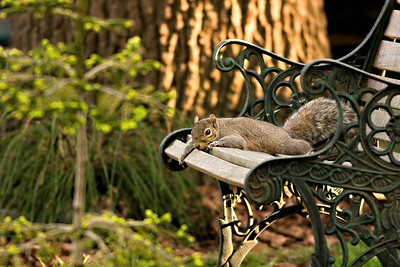 Mom squirrel relaxing while keeping a watchful eye on the youngsters that are on the ground for the first time.
