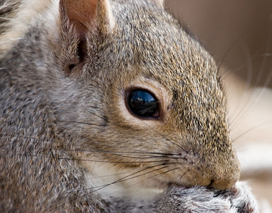 Had to do some waiting a sneaking to get this head shot. Most youngsters do not make their 1st year (50%+ mortality). It has been a common thought that predatation was the main killer of squirrels,(all ages), however it is now believed that illness plays the most important roll in this.