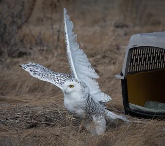 Snowy Owl Luna takeoff w carrier