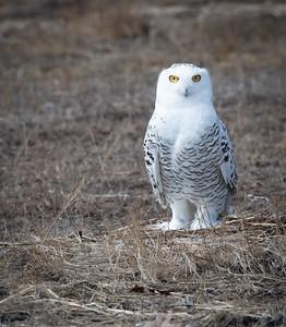 Snowy Owl Luna penquin-2