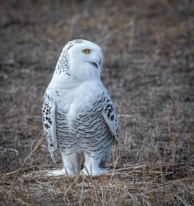 Snowy Owl Luna profile-2