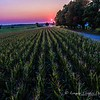 Corn Field Sunset