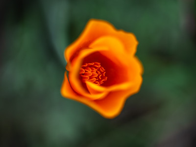 The Tao of the Poppy #7: The Tao of the California Poppy Wildflower Superbloom  Dr. Elliot McGucken Fine Art Landscape Nature Photography Superbloom Prints & Luxury Wall Art
