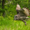 Great Gray Owl,