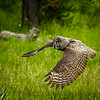 Great Gray Owl Hunting.