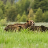 Bear with two BIG  cubs in the meadow at Cattleman's Bridge