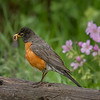 A Red Robin....Spring has arrived.