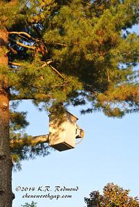 Hollis Strips the White Pine