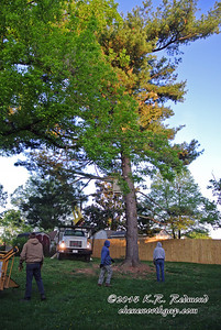 The Tree Removal Begins