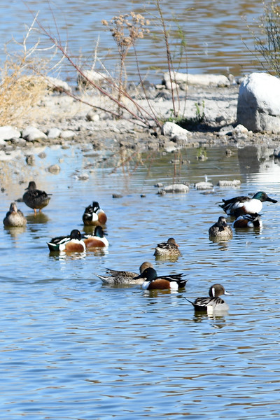 Northern Pintail and Northern Shovelers