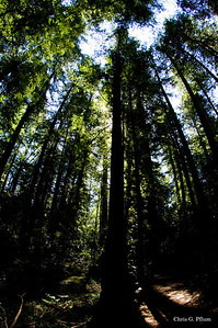 Armstrong Redwood Forest near Healdsburg, CA