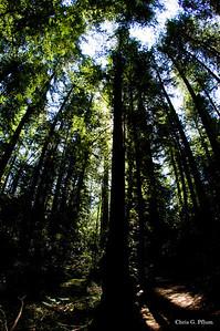 Armstrong Redwood Forest near Healdsburg, CA