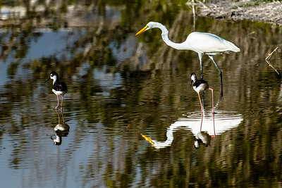 Black-Necked Stilt & Egret
