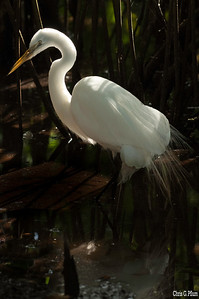 Everglades National Park, Florida - American Egret