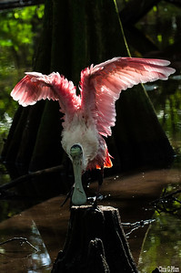 Everglades National Park, Florida - Roseate Spoonbill