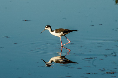 Everglades National Park, Florida - Black-Necked Stilt