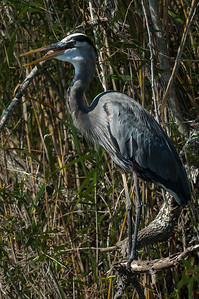 Everglades National Park, Florida - Great Blue Heron