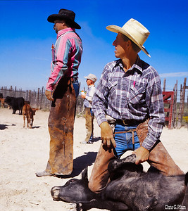 Malaga, New Mexico  - Cowboys brand and castrate cattle at the Cooksey Ranch.