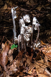 Caesar's Head South Carolina - Indian Pipe aka Corpse Plant (see http://www.fcps.edu/islandcreekes/ecology/indian_pipe.htm)