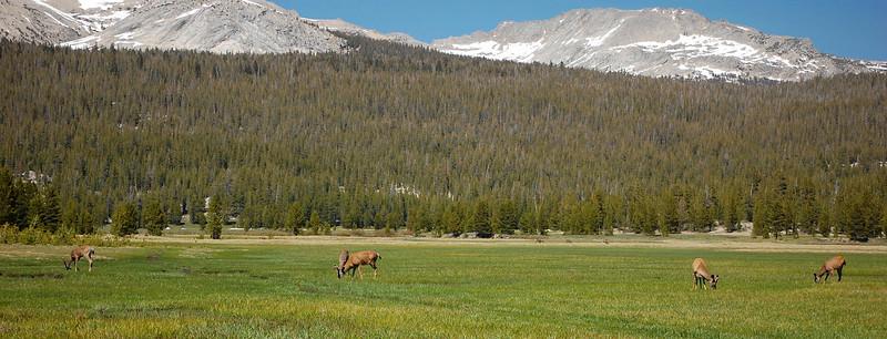 Deer in Tuolumne meadow