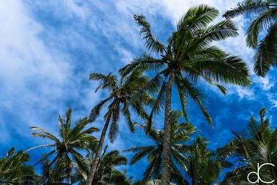 Coconut Palm Trees, Coco Palms Resort, Kapa'a, Hawai'i, June 2014.