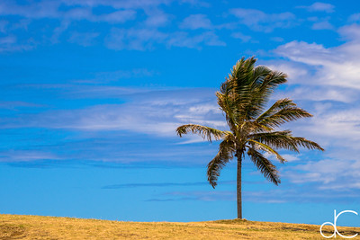 Lone Palm, Punalu'u Black Sand Beach, Hawai'i, June 2014.