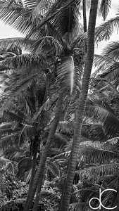 Coconut Palms, Punalu'u Black Sand Beach, Hawai'i, June 2014.