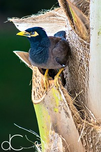 Common Myna Bird, Sheraton Kona Resort at Keauhou Bay, Hawai'i, June 2014.